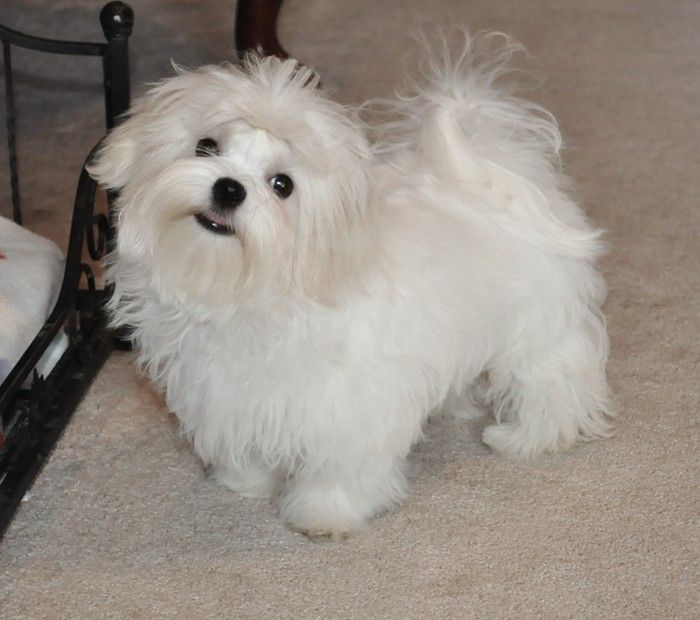 Pictures of adult maltese